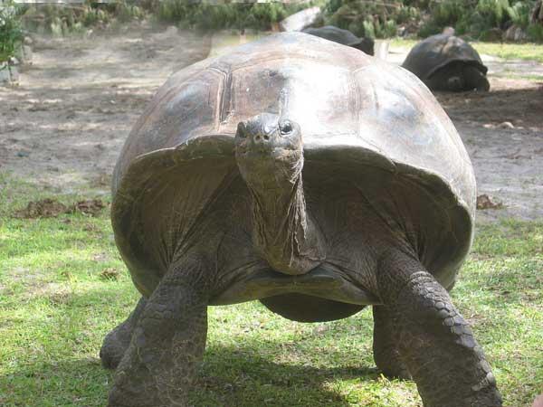 la tortue Tortue_seychellesld