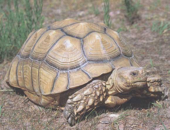 la tortue Tortue_sillonnee_04
