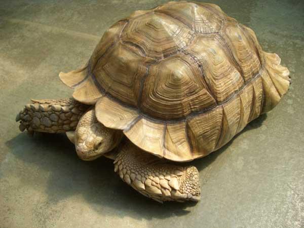 la tortue Tortue_sillonneeld