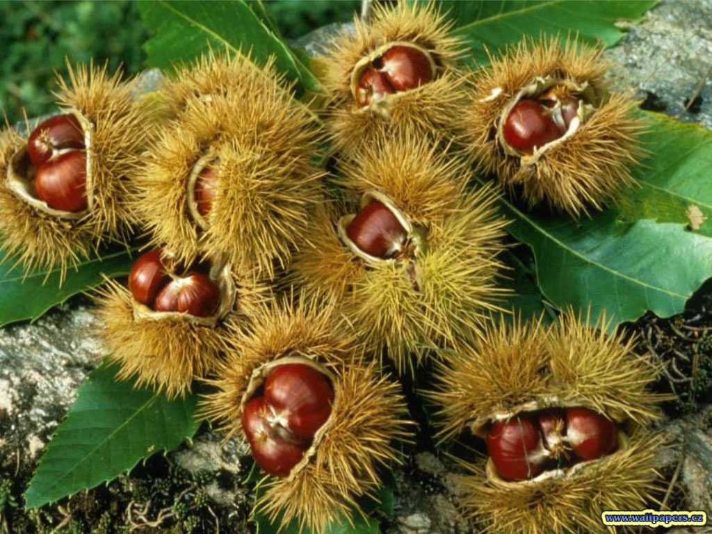 ... Y caen las hojas, llega ....¡¡¡ EL Otoño !!! Recoger-castac3b1as-del-bosque