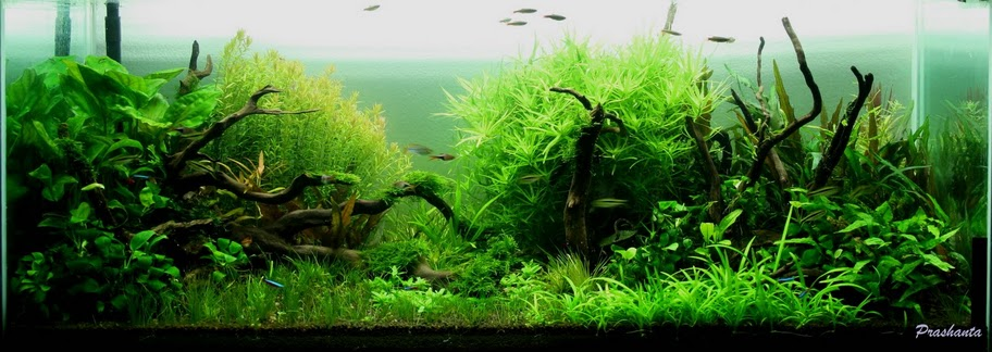 The International Aquatic Plants Layout Contest 2011 573