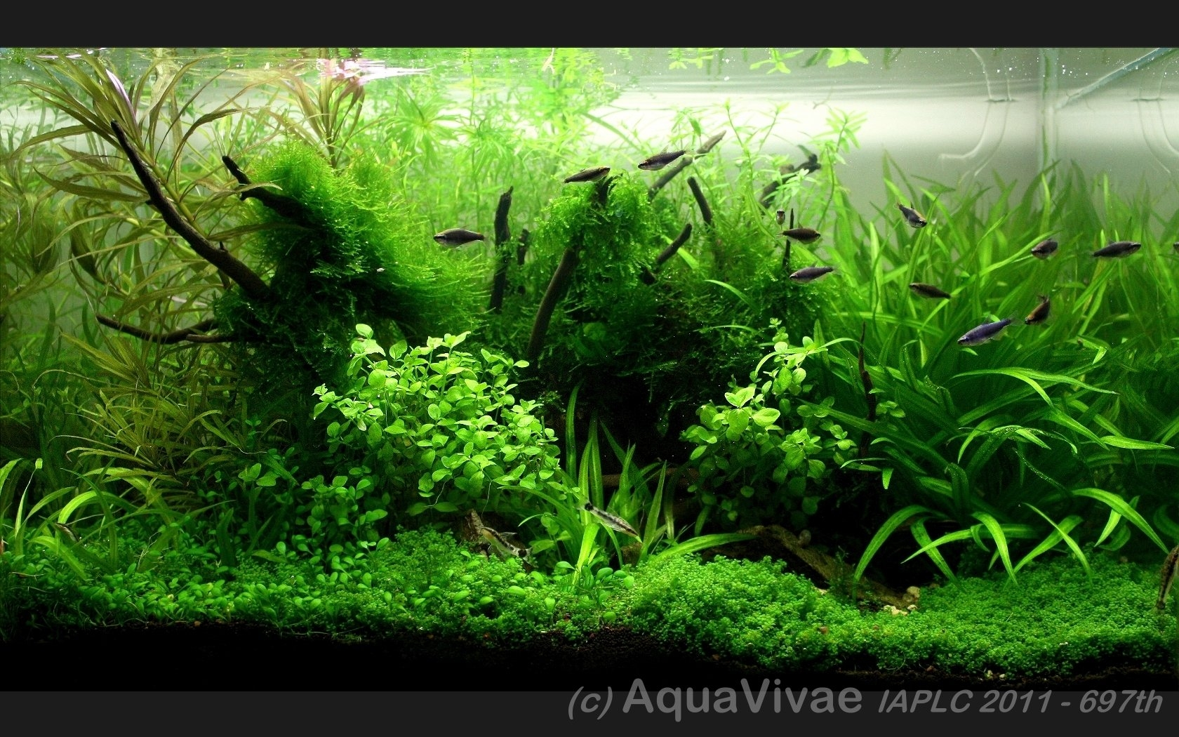 The International Aquatic Plants Layout Contest 2011 697