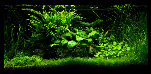 The International Aquatic Plants Layout Contest 2011 777