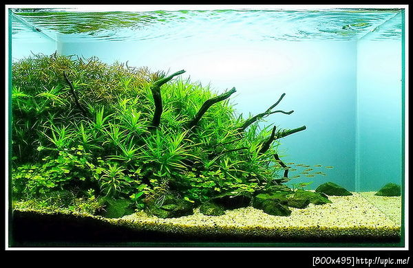 The International Aquatic Plants Layout Contest 2011 Rank-762