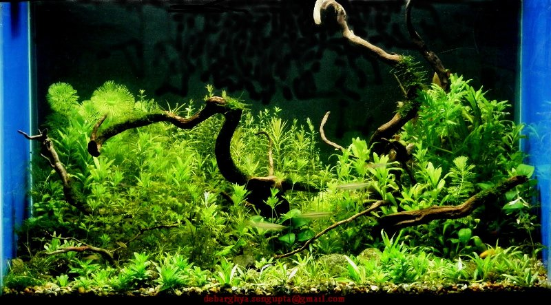 The International Aquatic Plants Layout Contest 2011 Ranking-1106