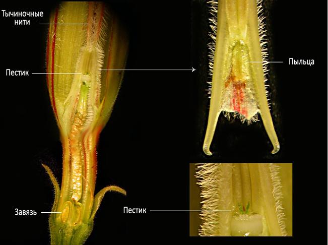 Адениум - опыление цветка и получение семян Opilenie_shema_1