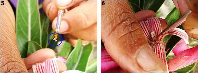 Адениум - опыление цветка и получение семян Pollination_003