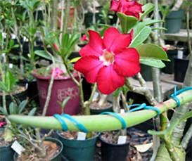 Адениум - опыление цветка и получение семян Pollination_04