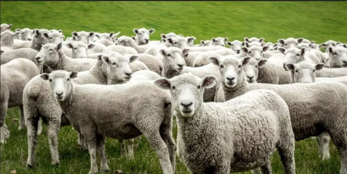 News au 19 juillet 2020 Moutons