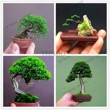 فن البونساي Big-Promotion-50-pcs-bag-Miniature-pine-garden-bonsai-tree-flores-indoor-woody-plants-pine-tree.jpg_220x220q90