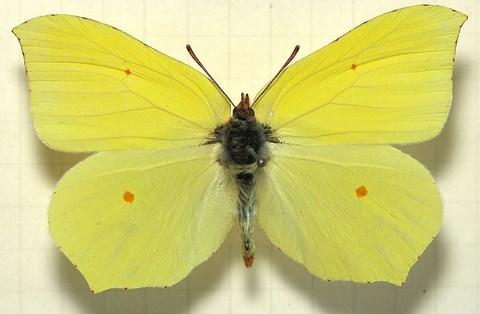 Oro Nuclear pour les Nuls Gonepteryxrhamni-mounted-auteur-sarefo