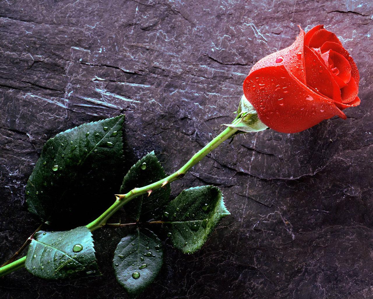 Quiero ver... - Página 10 Rosa_roja8