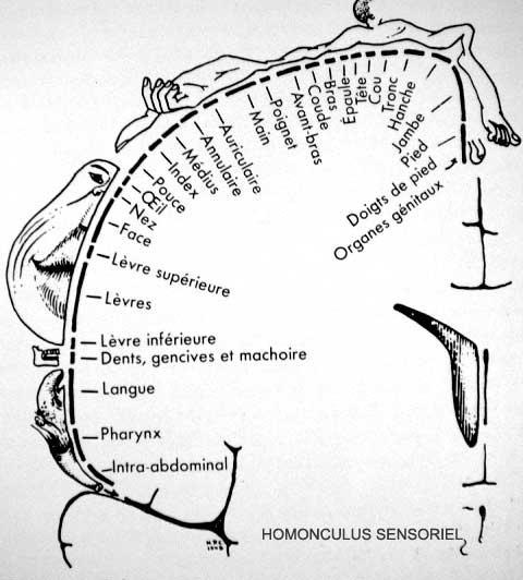 """Financement participatif """"Caloprothèse"""" + d'explications Homonculus-sensoriel-NB"""