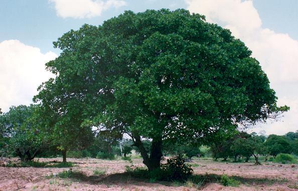 Árvores - Nossos baixos antes de tomar forma Afzelia_cuarzenica