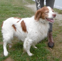 FORBAN - epagneul breton 9 ans -AID Animaux à Chateaubriant (44) 1244_forban1