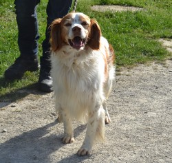 FORBAN - epagneul breton 9 ans -AID Animaux à Chateaubriant (44) 1285_forban1