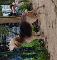 GASTON - beagle 10 ans - AID Animaux à Chateaubriant (44) 1531_gaston1