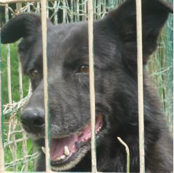 ALASKA - labrador 11 ans (8 ans de refuge) - AID Animaux à Chateaubriant (44) 287_alaska1