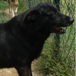 ALASKA - labrador 11 ans (8 ans de refuge) - AID Animaux à Chateaubriant (44) 287_alaska2