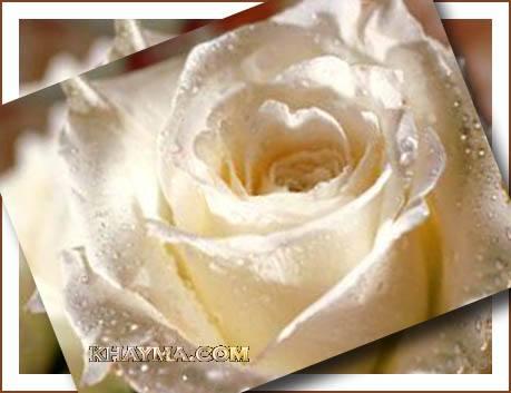 من هنا اجمل الورود لتهديها لاصدقائك واحبابك في المنتدى وخارج المنتدى  Pic004