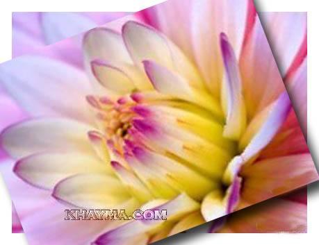 من هنا اجمل الورود لتهديها لاصدقائك واحبابك في المنتدى وخارج المنتدى  Pic005