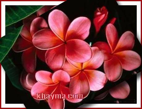 من هنا اجمل الورود لتهديها لاصدقائك واحبابك في المنتدى وخارج المنتدى  Pic009