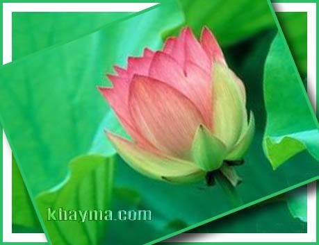 من هنا اجمل الورود لتهديها لاصدقائك واحبابك في المنتدى وخارج المنتدى  Pic010