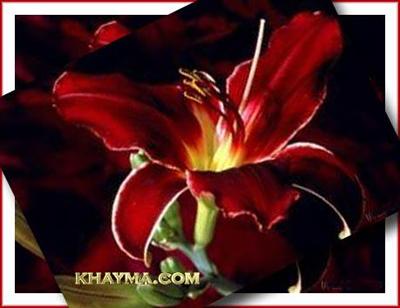 من هنا اجمل الورود لتهديها لاصدقائك واحبابك في المنتدى وخارج المنتدى  Pic012