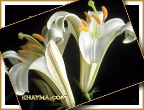 من هنا اجمل الورود لتهديها لاصدقائك واحبابك في المنتدى وخارج المنتدى  Pic013