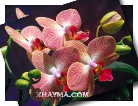 من هنا اجمل الورود لتهديها لاصدقائك واحبابك في المنتدى وخارج المنتدى  Pic014