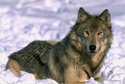 Omiljene divlje životinje Wolf-color-photo