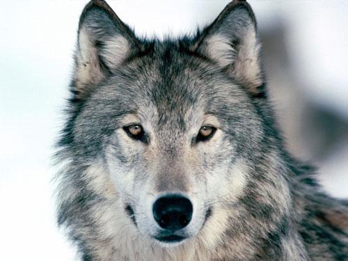 Najdraža, najljepša životinja vam je... Wolf-photo