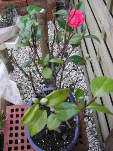 problème CAMELIA Fleur%20camelia.1