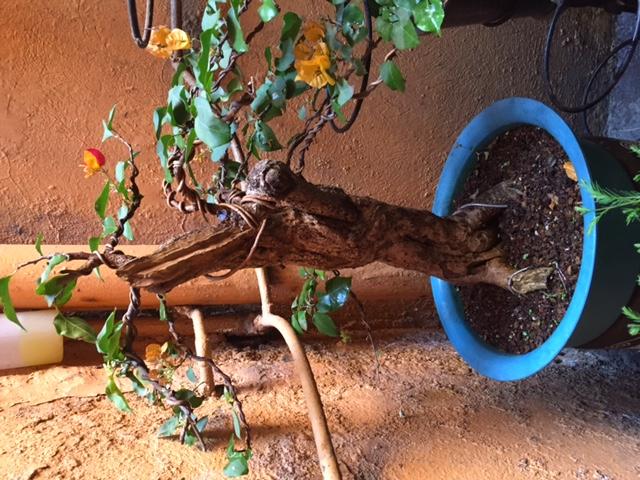 Bugambilia - mejorar aspecto de hojas Bugam-frente