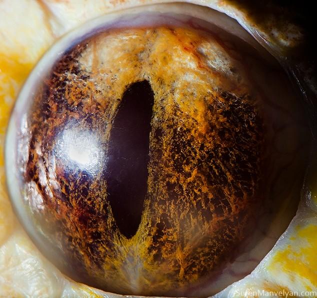 20 close-up photos of animal eyes show nature's wonderfully extreme ocular diversity Animal-Eyes-Albino-Python-634x597
