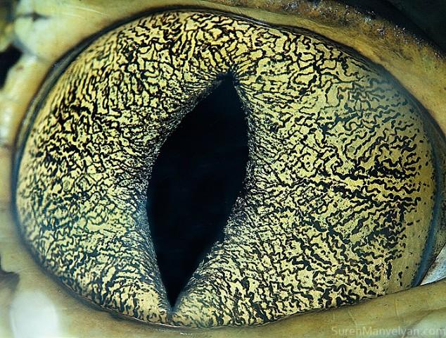 20 close-up photos of animal eyes show nature's wonderfully extreme ocular diversity Animal-Eyes-Caiman-634x480