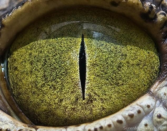 20 close-up photos of animal eyes show nature's wonderfully extreme ocular diversity Animal-Eyes-Crocodile-634x496