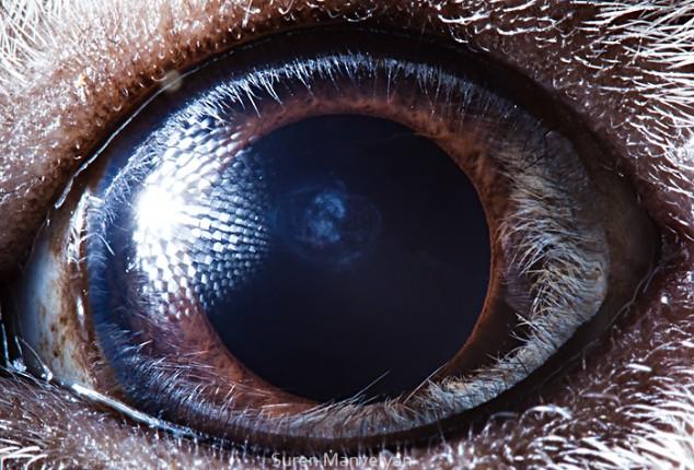 20 close-up photos of animal eyes show nature's wonderfully extreme ocular diversity Animal-Eyes-Guinea-Pig-634x430