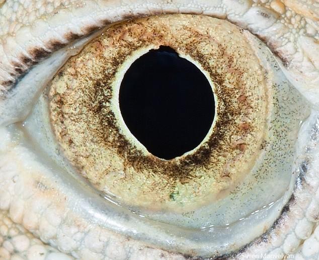 20 close-up photos of animal eyes show nature's wonderfully extreme ocular diversity Animal-Eyes-Iguana-634x516