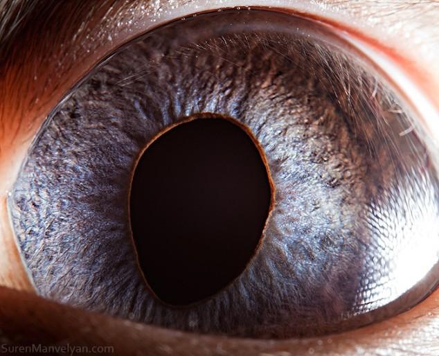 20 close-up photos of animal eyes show nature's wonderfully extreme ocular diversity Animal-Eyes-Siamese-Cat-02-634x514