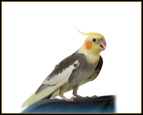 صور طائر الكوكتيل 21d05751e1