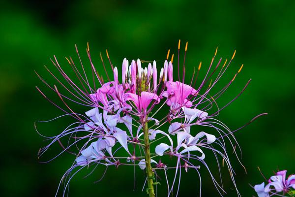 Plante de Martine 10 avril trouvée par Ajonc Fleur_mauve_blanche_Arenal