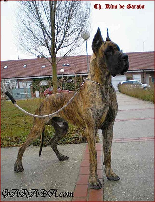 [Sondage] Top 10 des chiens les plus impressionants Dogue%20Allemand%20Kimi%20de%20Garaba%2010