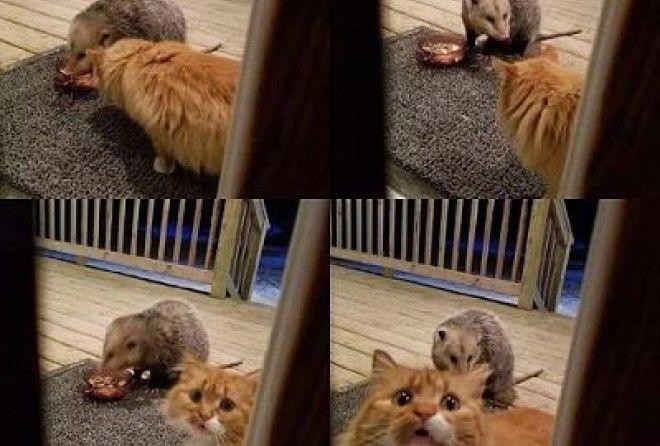 Algemene Onzin Topic  - Pagina 48 Cat-vs-possum