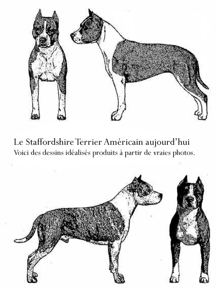 L'AMERICAN STAFFORDSHIRE TERRIER : le Staff ou Am Staff Chien-ideal