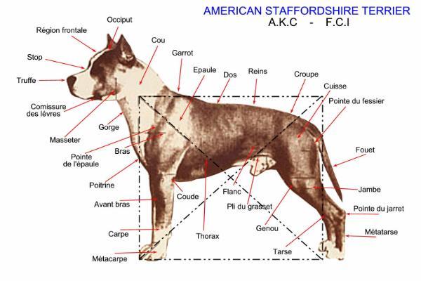 L'AMERICAN STAFFORDSHIRE TERRIER : le Staff ou Am Staff Im_1132695013