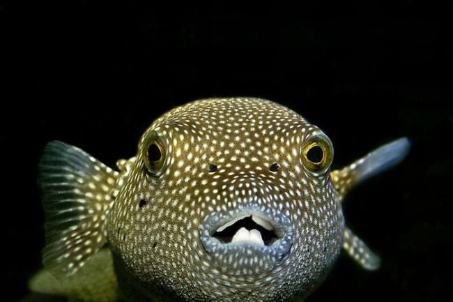 un animal - ptit loulou - le 2 novembre trouvé par Martine 10-le-poisson-ballon-ou-poisson-globe