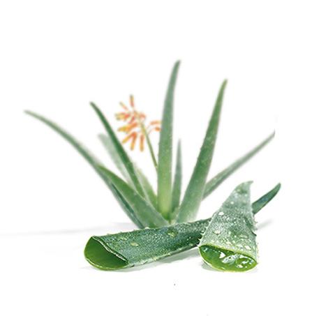 Glosario y propiedades mágicas de las plantas Aloe-vera