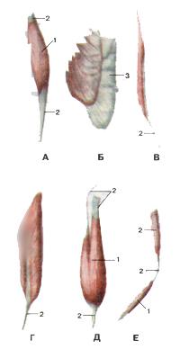 Мышцы тела человека 101