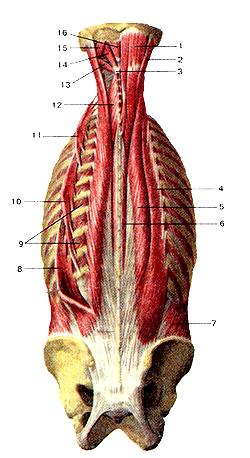 Мышцы тела человека 104